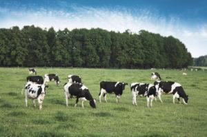 domestic cattle herding